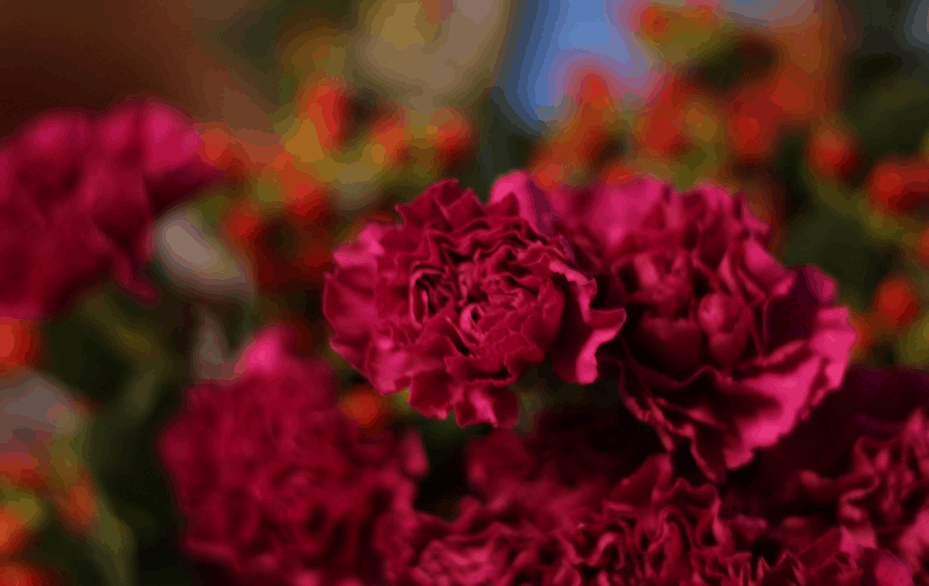 red-carnations