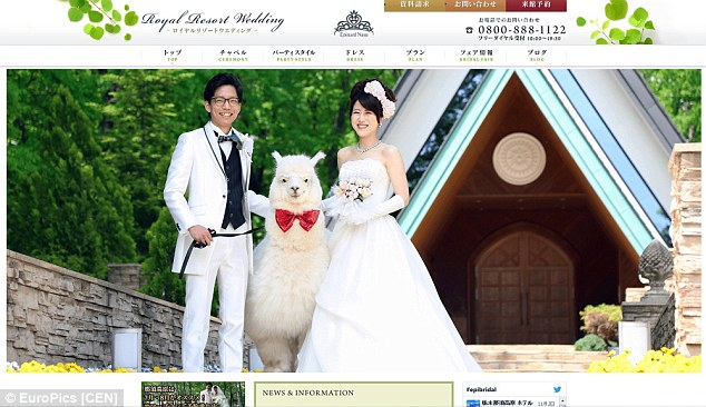 Hire an Alpaca For Your Wedding