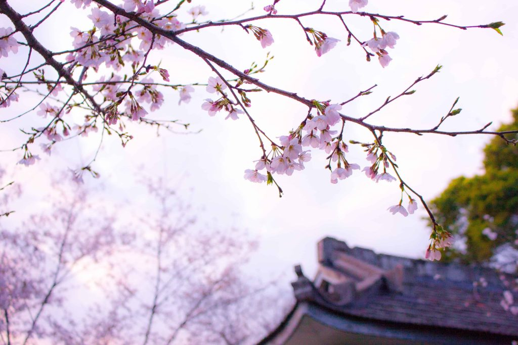Spring in Japan is known for the cherry blossom bloom.
