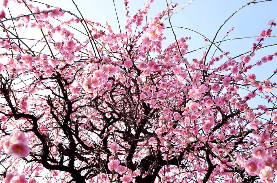 Best time to travel to Japan; cherry blossoms in Spring
