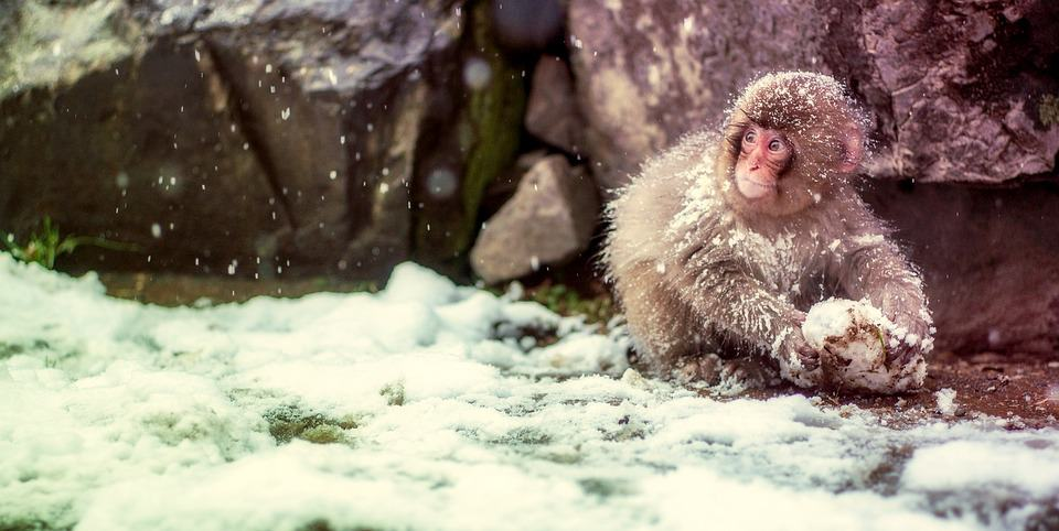 Alternative time to travel to Japan; monkeys in Winter
